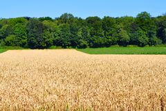 Grain field growing Stock Image