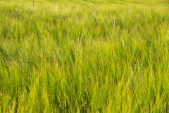 Grain on the field. Stock Images