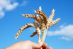 Grain field and hand Stock Photos