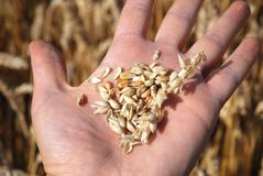 Grain field and hand Stock Photography