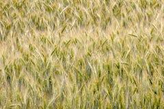 Grain. Field of grain before harvest Royalty Free Stock Photos