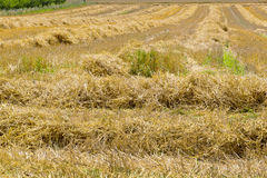 Grain field after harvesting Stock Photo