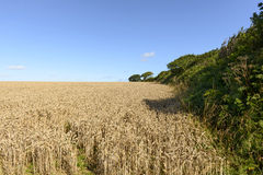 Grain field and hedge , Cornwall Stock Photography