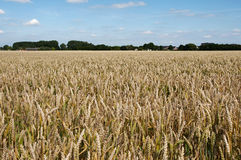 Grain field in holland Royalty Free Stock Photography
