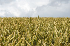 Grain field. Royalty Free Stock Images
