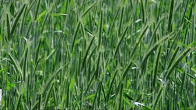 Grain field in late spring on a windy day stock footage