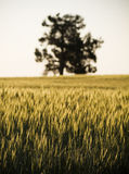 Grain Field / Meadow. Heads of golden grain stretch out in fields as dusk with a single tree in view stock photography