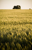 Grain Field / Meadow. Heads of golden grain stretch out in fields as dusk with a single tree in view royalty free stock images