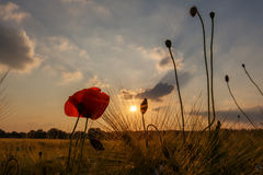 Grain field poppy sundown Stock Photos