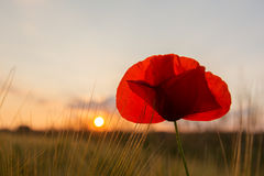 Grain field poppy sundown 3 Royalty Free Stock Photos