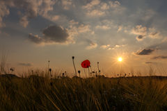 Grain field poppy sundown 4 Royalty Free Stock Photo