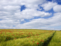 Grain field with red poppies royalty free stock photo