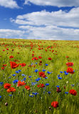 Grain field with red poppies royalty free stock photography