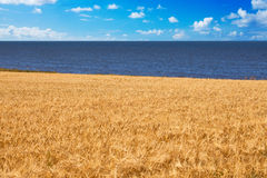 Grain field and sea Stock Photography