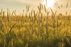 Grain field with a setting sun Stock Photo