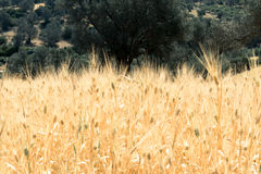 Grain field in south-central Crete Stock Images