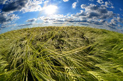 Grain. Field at spring in Hungary Royalty Free Stock Photos