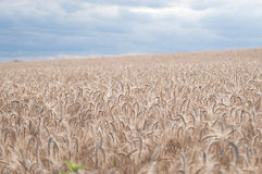 Grain. Field before the storm Royalty Free Stock Photo