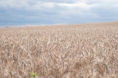 Grain Royalty Free Stock Photo