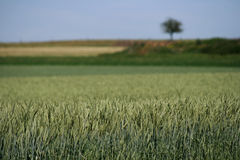 Grain field in summer Royalty Free Stock Images