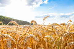 Grain. Field in summer time stock image