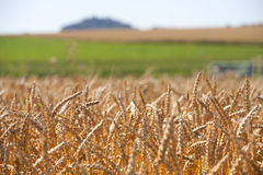Grain field in the summer Stock Image