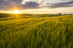 Grain field in the sundown Royalty Free Stock Image