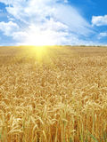 Grain field and sunny day Royalty Free Stock Images