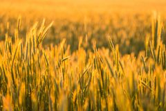 Grain field outside city Royalty Free Stock Images