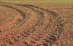 Grain Field Tire Tracks. Tire tracks in a field of newly emerging grain stock images