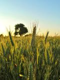 Grain field with tree at the background at the sunset Stock Photos