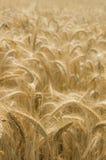 Grain. Field in Tuscany, Italy Royalty Free Stock Image