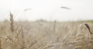 Grain field with wheat or rye ready for harvest Stock Photography
