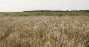 Grain field with wheat or rye ready for harvest Stock Images
