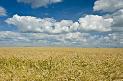 Grain Field. Field of wheat under the blue sky and clouds Royalty Free Stock Image