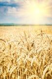 Grain field. Field of wheat under cloudy sky Stock Image