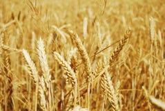 Grain field. Wheat grain on a wheat field Stock Photography