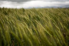 Grain field on a windy day royalty free stock photos