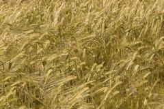 Grain field. Yellow Field mature grain culture stock photos