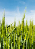 Grain on the field Royalty Free Stock Image