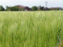 Grain field02 Royalty Free Stock Photo