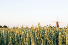 Grain fields with dutch windmill on the background Royalty Free Stock Photo