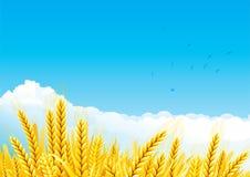 Grain fields Stock Photography