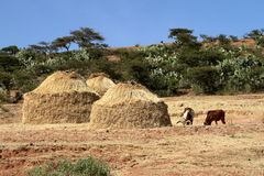 Grain fields and farms in Ethiopia Royalty Free Stock Image