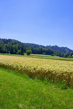Grain fields in Gorenjska region Slovenia Royalty Free Stock Images
