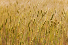 Grain fields in Provence Royalty Free Stock Image