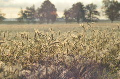 Grain in the fields. Ripening ears. Harvest and grain into flour. Farms Stock Image