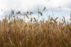Grain fields. Rye blades in grain fields Royalty Free Stock Photography
