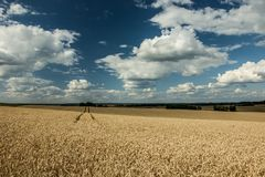 Grain fields with a technological path, trees on the horizon. And white clouds in the blue sky royalty free stock image