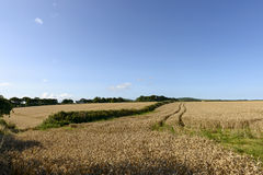Grain fields under blue sky, Cornwall Royalty Free Stock Photo